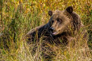 Grizzly (brown) bear (Ursus arctos) at Crescent Lake, Lake Clark National Park and Preserve, Alaska,の写真素材 [FYI03788525]