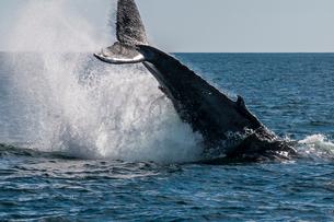 Humpback whale (Megaptera novaeangliae) tail slapping, Resurrection Bay, Kenai Fjords National Park,の写真素材 [FYI03788528]