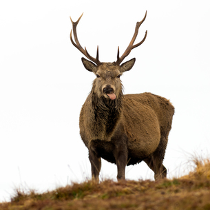 Red Deer Stag sticking out tongue, Scottish Highlands, Scotland, United Kingdom, Europeの写真素材 [FYI03788547]