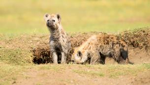 Hyena cubs, Masai Mara, Kenya, East Africa, Africaの写真素材 [FYI03788548]