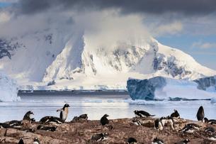 Gentoo penguin (Pygoscelis papua) colony, Cuverville Island, Errera Channel, Danco Coast, Antarcticの写真素材 [FYI03788574]