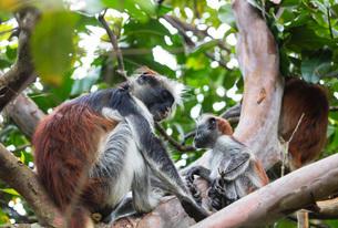 Endemic Red Colobus monkey (Piliocolobus), Jozani Forest, Jozani Chwaka Bay National Park, Island ofの写真素材 [FYI03788653]