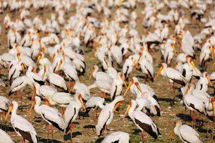 Yellow billed stork (Mycteria ibis), Lake Manyara National Park, Tanzania, East Africa, Africaの写真素材 [FYI03788660]