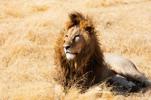 Lion (Panthera leo), Ngorongoro Crater Conservation Area, UNESCO World Heritage Site, Tanzania, Eastの写真素材 [FYI03788661]