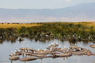 Cattle egret (Bubulcus ibis) and hippo (Hippopotamus amphibius) at a water hole, Ngorongoro Crater,の写真素材 [FYI03788662]