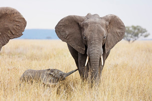 Baby African elephant and mother (Loxodonta africana), Serengeti National Park, UNESCO World Heritagの写真素材 [FYI03788670]
