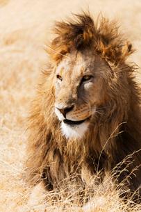 Lion (Panthera leo), Ngorongoro Crater Conservation Area, UNESCO World Heritage Site, Tanzania, Eastの写真素材 [FYI03788676]
