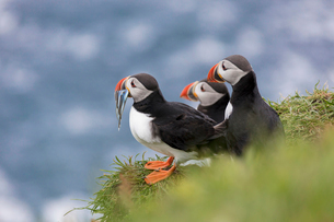 Atlantic puffins with fish in the beak, Mykines Island, Faroe Islands, Denmark, Europeの写真素材 [FYI03788868]