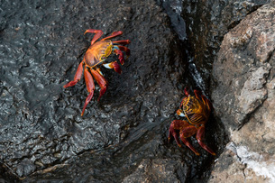 Sally Lightfoot Crab (Grapsus grapsus), South Plaza Island, Galapagos Islands, UNESCO World Heritageの写真素材 [FYI03788890]