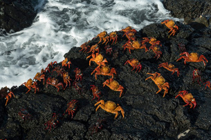 Sally Lightfoot Crab (Grapsus grapsus), Bachas beach, North Seymour Island, Galapagos Islands, UNESCの写真素材 [FYI03788904]