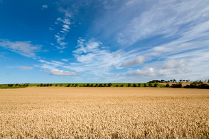 Large ripening wheat field in Northumberland, England, United Kingdom, Europeの写真素材 [FYI03788942]
