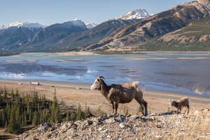 Rocky Mountain Bighorn Sheep ewe and lamb (Ovis canadensis) overlooking Highway 16 traffic, Jasper Nの写真素材 [FYI03788973]