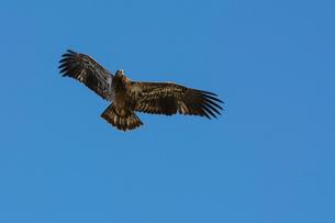 Juvenile Bald Eagle in flight (Haliaeetus leucocephalus), Jasper National Park, Alberta, Canada, Norの写真素材 [FYI03788974]