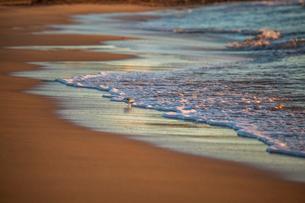 Little bird on a beach, Sagres, the Algarve, Portugal, Europeの写真素材 [FYI03789055]