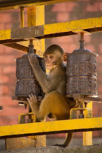 Monkey and Buddhist prayer wheels, the Swayambhunath Monkey Temple, Kathmandu, Nepal, Asiaの写真素材 [FYI03789090]
