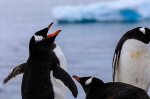 Gentoo penguins (Pygoscelis papua), Gonzalez Videla Station, Waterboat Point, Paradise Bay, Antarctiの写真素材 [FYI03789094]