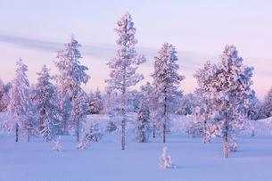 Frozen trees in the snowy woods, Luosto, Sodankyla municipality, Lapland, Finland, Europeの写真素材 [FYI03789216]