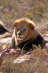 A lion, Aquila Safari Game Reserve, Cape Town, South Africa, Africaの写真素材 [FYI03789227]