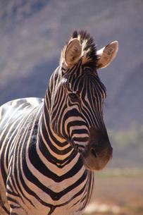 A zebra, Aquila Safari Game Reserve, Cape Town, South Africa, Africaの写真素材 [FYI03789228]