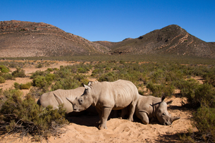 A young rhino and family, Aquila Safari Game Reserve, Cape Town, South Africa, Africaの写真素材 [FYI03789229]
