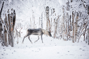 Reindeer in the frozen wood, Levi, Kittila, Lapland, Finland, Europeの写真素材 [FYI03789276]