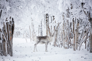 Reindeer in the frozen wood, Levi, Kittila, Lapland, Finland, Europeの写真素材 [FYI03789277]