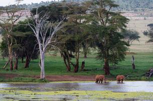 African elephants (Loxodonta africana), Tsavo, Kenya, East Africa, Africaの写真素材 [FYI03789439]