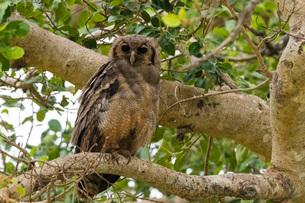 A Verreaux's eagle-owl (Bubo lacteus), perching on a tree, Tsavo, Kenya, East Africa, Africaの写真素材 [FYI03789457]