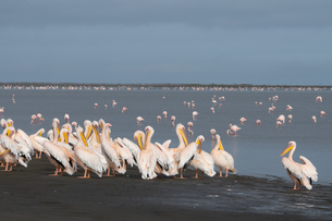 Great White African Pelicans gather on the Wetlands, Greater Flamingos with pink bills in the backgrの写真素材 [FYI03789743]