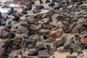 Seals slumber at one of world's largest colonies of Cape Fur Seals (Arctocephalus pusillus), Atlantiの写真素材 [FYI03789744]