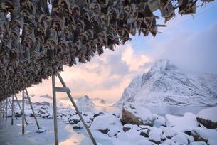 Stockfish on wood racks, Reine Bay, Lofoten Islands, Nordland, Norway, Europeの写真素材 [FYI03789857]