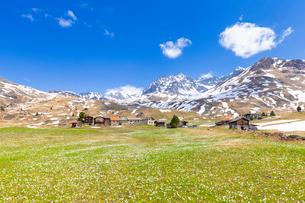 Flowering of crocus at Alp Flix, Sur, Surses, Parc Ela, Region of Albula, Canton of Graubunden, Switの写真素材 [FYI03789946]
