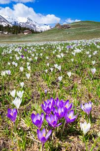 Flowering of crocus nivea at Alp Flix, Sur, Surses, Parc Ela, Region of Albula, Canton of Graubundenの写真素材 [FYI03789947]