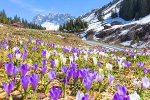 Flowering of crocus in Partnun, Prattigau valley, District of Prattigau/Davos, Canton of Graubunden,の写真素材 [FYI03789957]