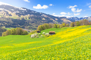 Spring blooms in Sankt Antonien, Prattigau valley, District of Prattigau/Davos, Canton of Graubundenの写真素材 [FYI03789965]