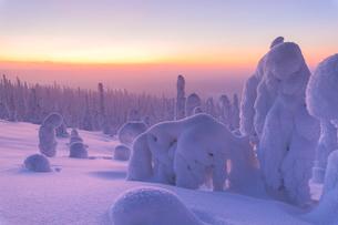 Sunrise on frozen trees, Riisitunturi National Park, Posio, Lapland, Finland, Europeの写真素材 [FYI03790089]