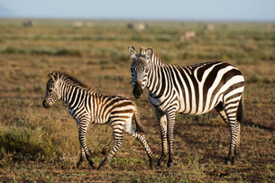 A plains zebra foal (Equus quagga) and its mother, Ndutu, Ngorongoro Conservation Area, Serengeti, Tの写真素材 [FYI03790339]