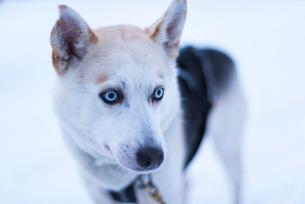 Husky Farm, Lapland, Finland, Europeの写真素材 [FYI03790419]