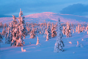 Snow covered winter landscape at sunset, Lapland, Pallas-Yllastunturi National Park, Lapland, Finlanの写真素材 [FYI03790437]