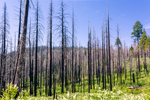 A forest fire destroys an area of forest in Yosemite Valley in the Yosemite National Park, UNESCO Woの写真素材 [FYI03790580]