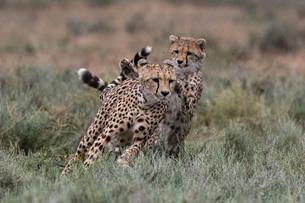 Cheetah (Acinonyx jubatus), Ndutu, Ngorongoro Conservation Area, Serengeti, Tanzania, East Africa, Aの写真素材 [FYI03790594]