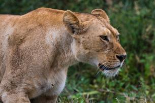 Portrait of a lioness (Panthera leo), Ndutu, Ngorongoro Conservation Area, Serengeti, Tanzania, Eastの写真素材 [FYI03790597]