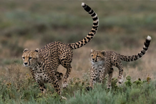 A female cheetah (Acinonyx jubatus) and its cub sparring, Ndutu, Ngorongoro Conservation Area, Serenの写真素材 [FYI03790600]