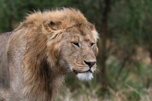 Lion (Panthera leo), Ndutu, Ngorongoro Conservation Area, Serengeti, Tanzania, East Africa, Africaの写真素材 [FYI03790601]