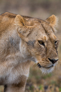 Lion (Panthera leo), Ndutu, Ngorongoro Conservation Area, Serengeti, Tanzania, East Africa, Africaの写真素材 [FYI03790602]