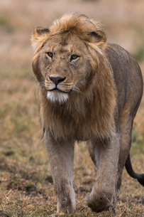 Male lion walking (Panthera leo), Ndutu, Ngorongoro Conservation Area, Serengeti, Tanzania, East Afrの写真素材 [FYI03790603]