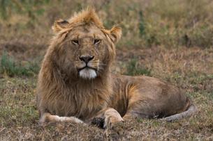 Lion (Panthera leo), Ndutu, Ngorongoro Conservation Area, Serengeti, Tanzania, East Africa, Africaの写真素材 [FYI03790604]