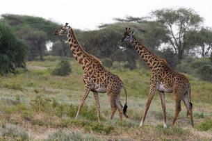 Masai giraffe (Giraffa camelopardalis tippelskirchi), Ndutu, Ngorongoro Conservation Area, Serengetiの写真素材 [FYI03790610]