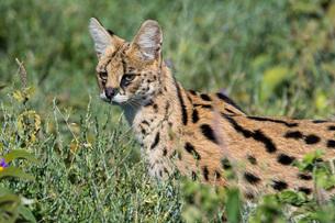 Serval (Leptailurus serval), Ndutu, Ngorongoro Conservation Area, Serengeti, Tanzania, East Africa,の写真素材 [FYI03790617]