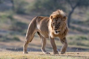 A male lion (Panthera leo), Ndutu, Ngorongoro Conservation Area, Serengeti, Tanzania, East Africa, Aの写真素材 [FYI03790618]